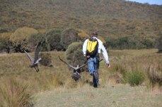 Skipper terrorising the cape barren geese