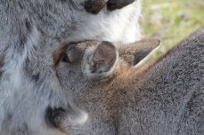 Close up of the joey drinking its mother's milk