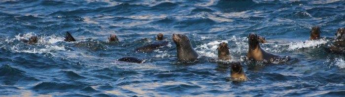Playful Australian Fur Seals