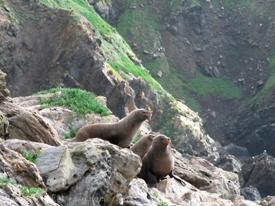 Elephant seals on Maatsuyker