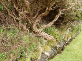 gnarly trees on Maatsuyker