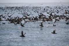 Short tailed shearwaters