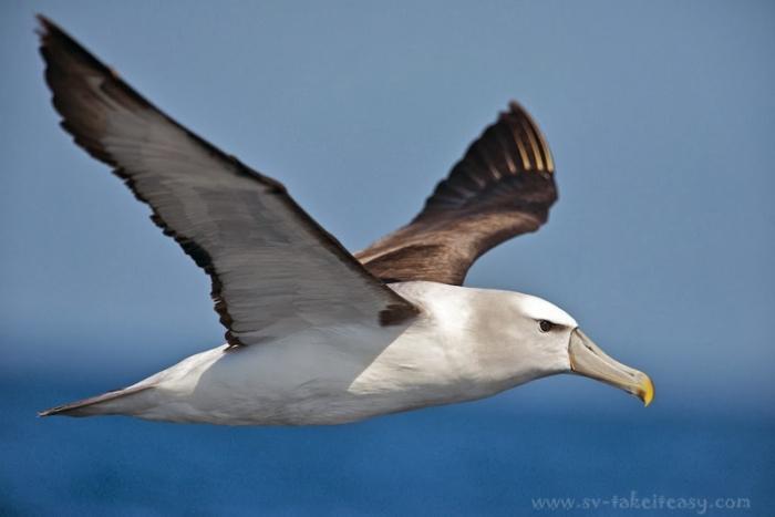 Shy albatross in flight, Eastern Bass Strait