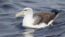 Shy Albatross Tasmania