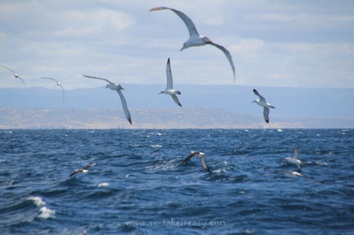 Albatrosses at play