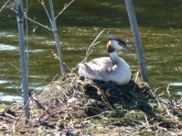 Grebe on nest at Le Tech Ornithological Reserve, France