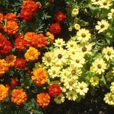 Tageles Patula and Chrysanthemum Carinatum