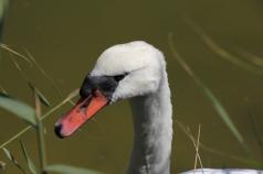 Swan at Teich