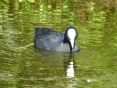 Coot, taken at Le Tech Ornithological Reserve, France
