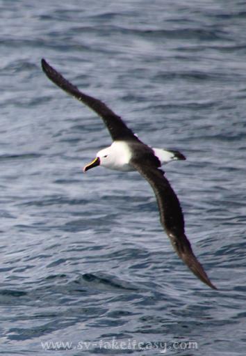 Yellow nosed albatross aloft