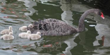 Black Swan Clutch