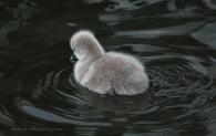 Black-Swan-Cygnet