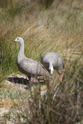 Cape Barren Geese at Deal Island