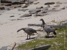 Cape Barren Geese at Hogan Island