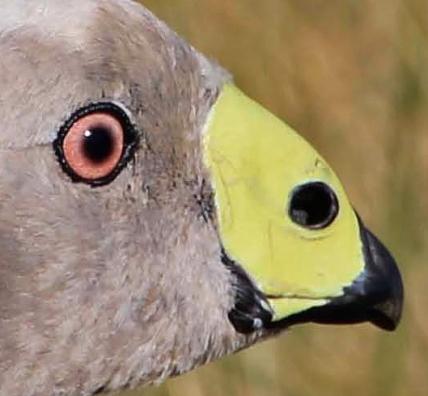 Cape Barren Goose Face