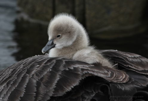 Cygnet on mum's back