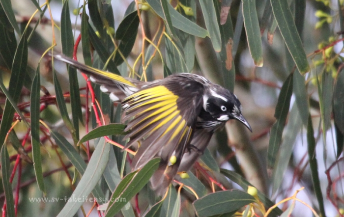 New Holland Honeyeater Aloft