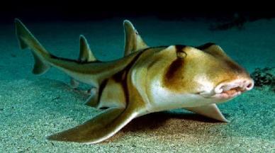 Port Jackson Shark