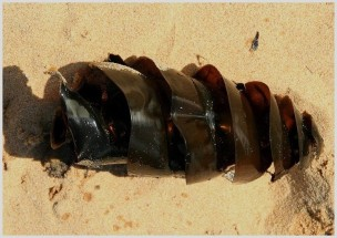 Spiral egg case of the Port Jackson shark