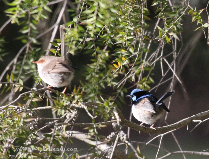Superb Blue Wren Couple