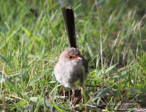 Superb Blue Wren Female