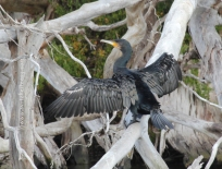 Great Cormorant drying its wings - Taken at Duck Arm, Gippsland Lakes