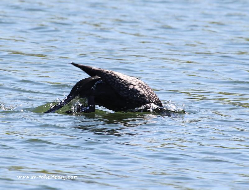 Little Black Cormorant Diving