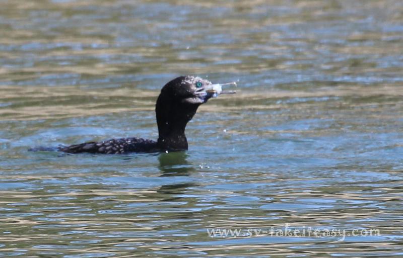 Little Black Cormorant swallowing a fish