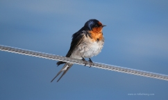 Welcome Swallow1