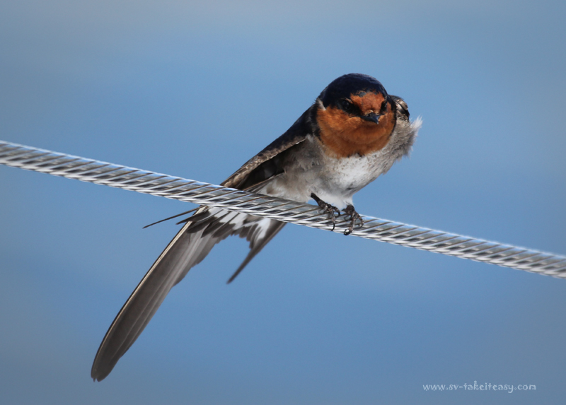 Welcome Swallow3