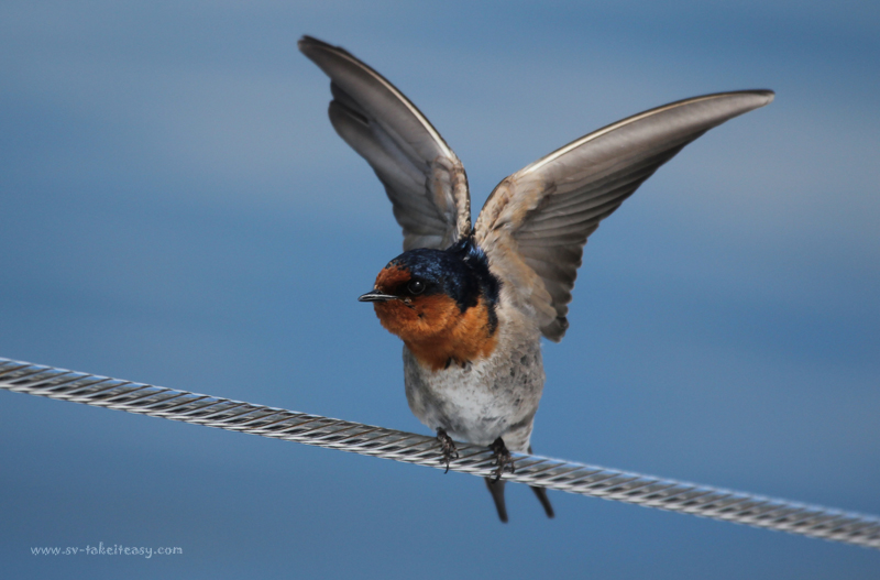 Welcome Swallow5