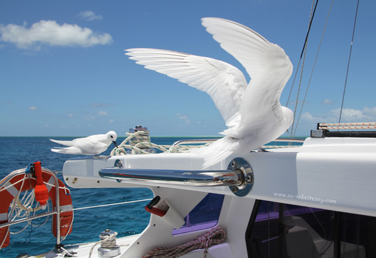 White Terns on board1