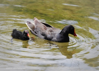 Dusky Moorhen and chick2