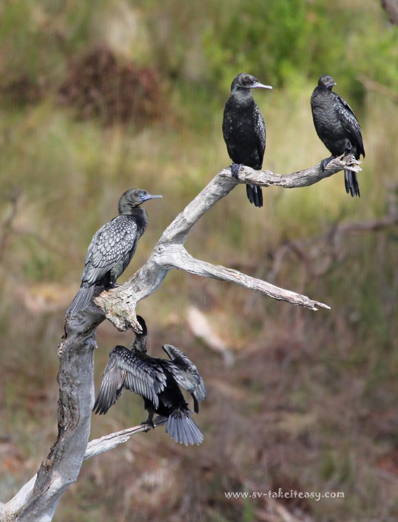 Four Little Black cormorants