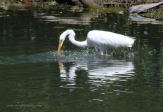 Great Egret Fishing2