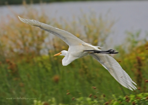 Great Egret in Flight4