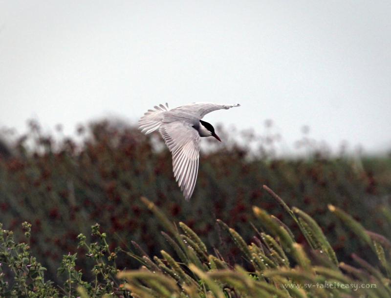 Whiskered Tern Aloft