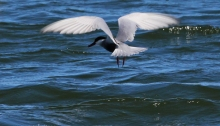 Whiskered Tern Fishing2