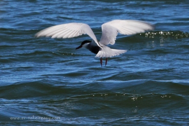 Whiskered Tern Fishing2