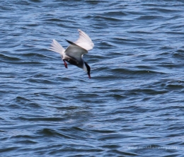 Whiskered-Tern-Fishing4