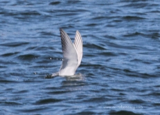 Whiskered Tern Fishing5