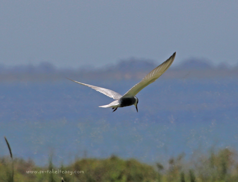 Whiskered Tern Hovering2