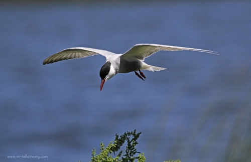 Whiskered Tern Hovering