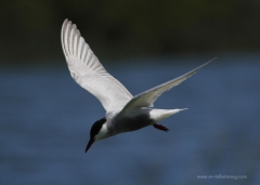 Whiskered Tern in Flight 4