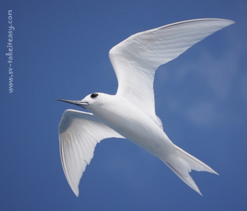 White Tern Portrait