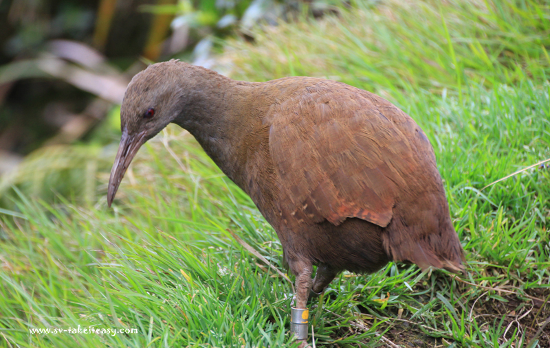 Woodhen at Mt Gower