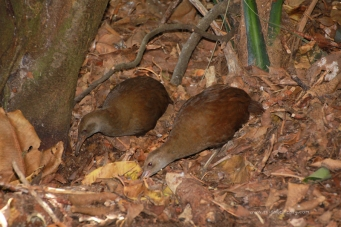 Woodhen Pair