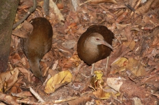 Woodhen Pair2