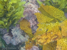 Kelp and corals