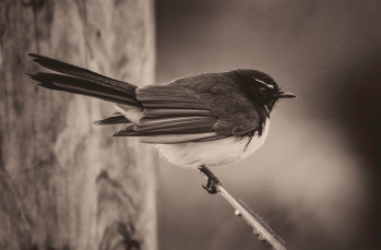 MM2-12 Willy Wagtail
